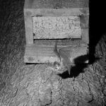 infra red photograph of brown long eared bat emerging from a bat box 3