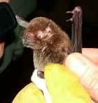 View the album Trinidad 2 Moormopidae, The leaf chinned bats